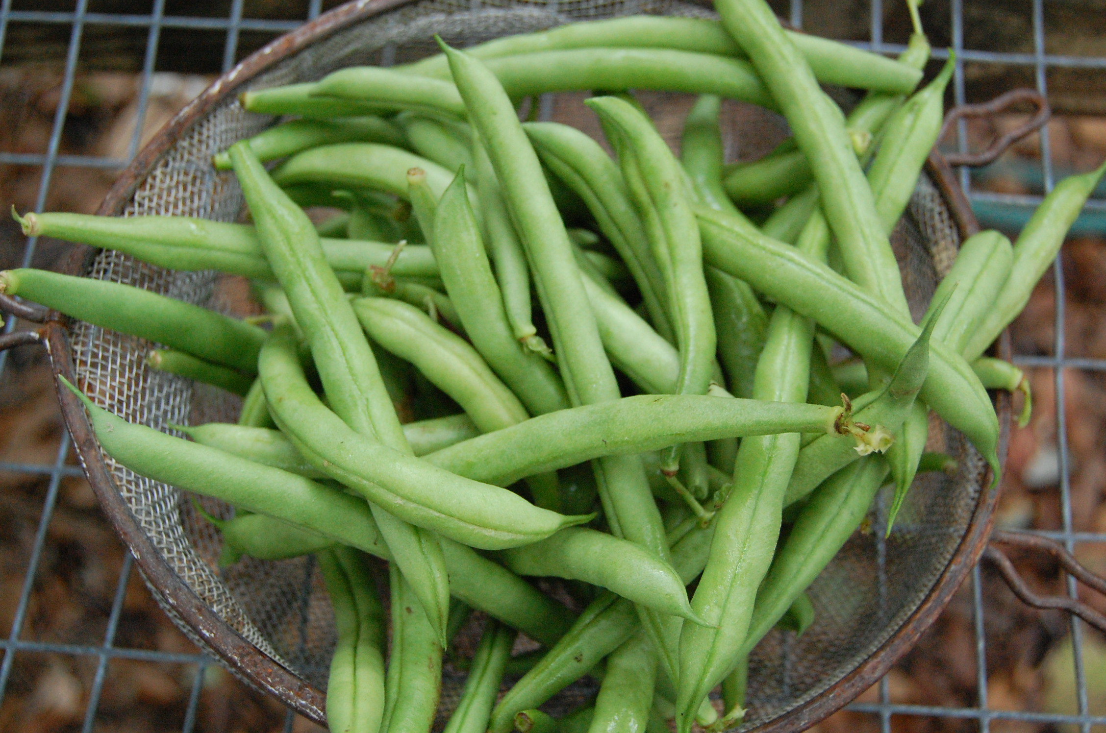Green Beans | Sweetwater Organic Farm