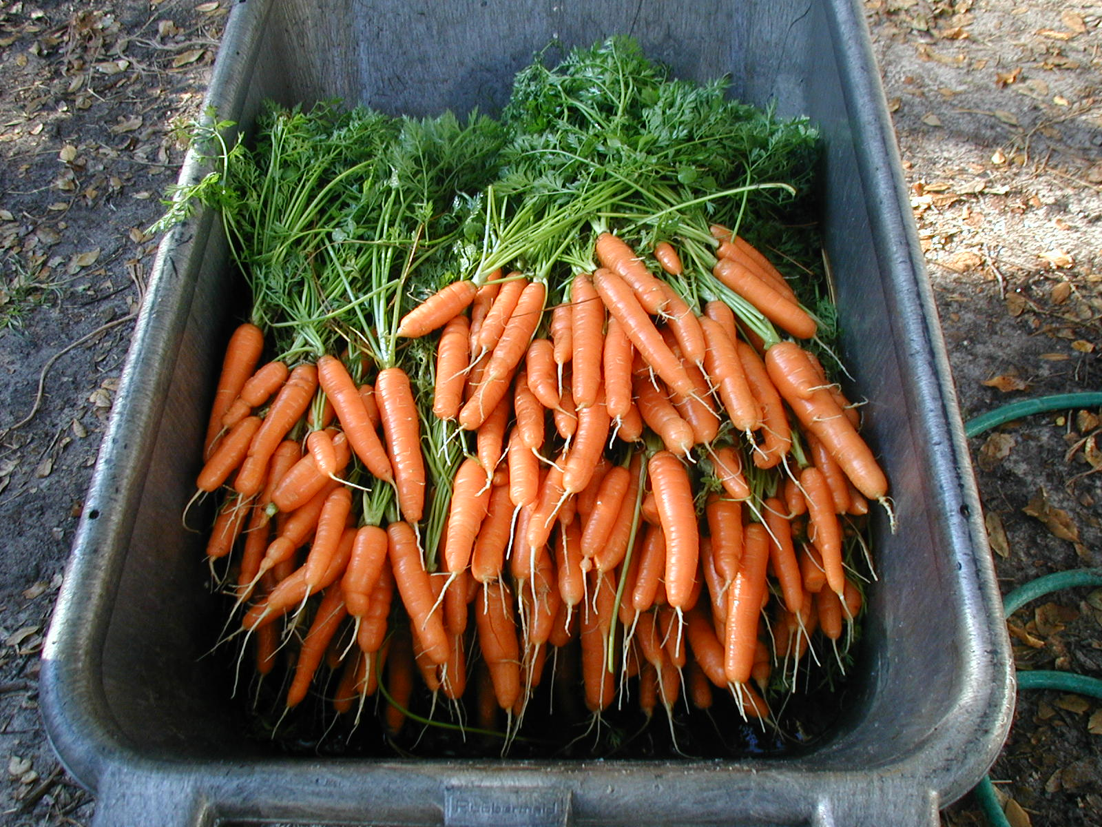How to store carrots in the basement, cellar, apartment and in the refrigerator How to save carrots for the winter 49