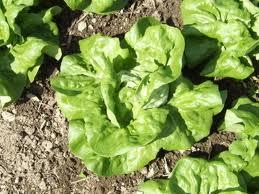 Ermosa-Lettuce