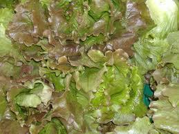 Magenta-Lettuce