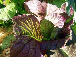 Red-Mustard-Giant