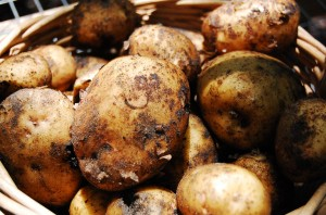 Yukon-Gold-Potatoes-4