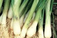 bunching-white-onion
