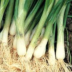 bunching-white-onion
