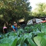 Students harvest kale 2013