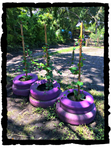 Malabar Spinach in Tire Planters