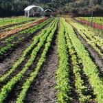 CH Farm Jan 2012 rows horizontal