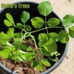 moringa-trees-hmt_1